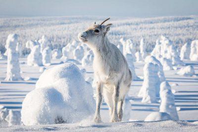 Kleines Rentier Lappland Russland Sibirien